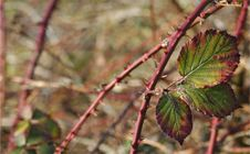 Free Brambles Stock Photography - 84992