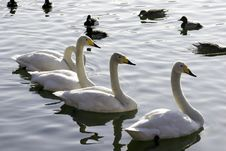 Free Swans Royalty Free Stock Images - 85179