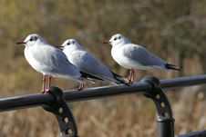 Free SeaGulls In Row Stock Image - 85181