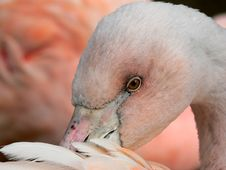 Free Flamingo Closeup Royalty Free Stock Image - 85296
