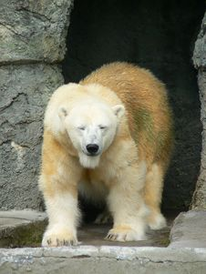 Free Polar Bear 1 Stock Photography - 85342