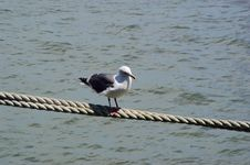 Free Seagull On Rope Stock Images - 85934
