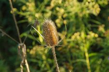 Free Dried Thistle Stock Photography - 86612