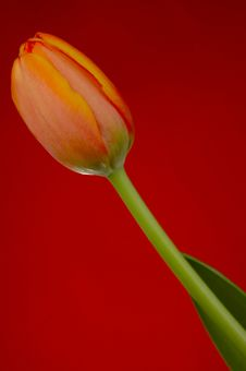 Free Orange Tulip Royalty Free Stock Image - 87626