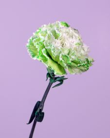 Free Green White Carnation Stock Photography - 87632