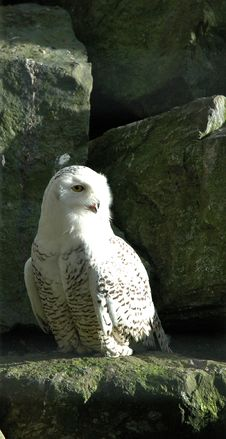 Free White Owl Stock Image - 88621