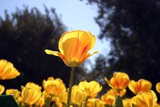 Free Yellow Tulips Royalty Free Stock Image - 88966