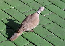 Mourning Dove Royalty Free Stock Photography
