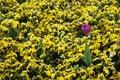 Free Purple Tulip Among Yellow Daisies Royalty Free Stock Photos - 807708