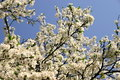 Free Apple Blossom Stock Images - 808154
