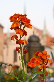 Free Flower, Munich Royalty Free Stock Photography - 800187