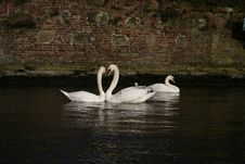 Free Kissing Swans Royalty Free Stock Image - 800856