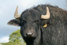 Free Blinking Buffalo Royalty Free Stock Image - 801556