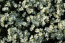 Free Small White Flowers Royalty Free Stock Images - 802429