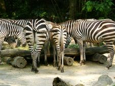 Free Zebra Backside Stock Photo - 802560
