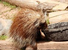 Free Porcupine Stock Photos - 802743