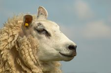 Free Sheep And Clouds Stock Image - 802871