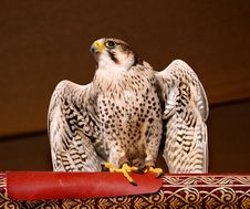 Free Peregrine Falcon Royalty Free Stock Images - 802949