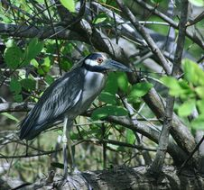 Free Evil Eye Night Heron Stock Image - 803221