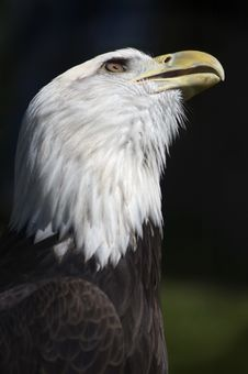 Free Looking Up Bald Eagle (Haliaeetus Leucocephalus) Royalty Free Stock Photos - 803238