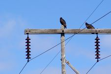 Free Turkey Vultures Royalty Free Stock Photography - 803657