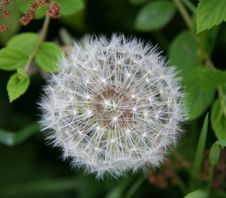 Free Dandelion Clock Royalty Free Stock Photos - 803668