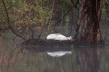 Free Foggy Morning Nesting Swan Stock Image - 803991