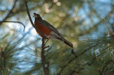 Free Robin With Bugs Royalty Free Stock Images - 804299