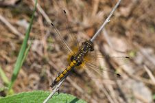 Free Yellow Dragonfly Resting On The Dry Blade Royalty Free Stock Image - 804686