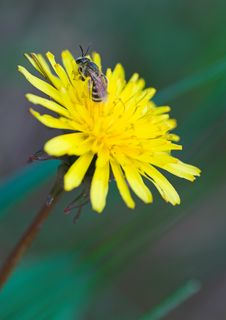 Free Young Bee Resting On Yellow Dandelion Royalty Free Stock Photo - 804785