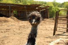 Free Emu Stock Images - 805114