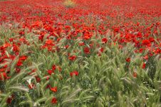 Poppies Field Royalty Free Stock Images