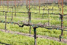 Free Wine Vines 1 Royalty Free Stock Photo - 806985