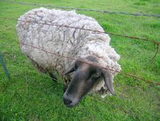 Free Sheep Stock Photography - 807372