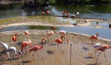 Free Flamingos Stock Image - 807411