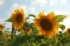 Free A SunFlower Duo Stock Images - 807824