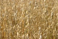 Free Wheat Stock Image - 808021