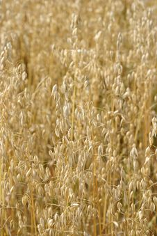 Free Wheat Royalty Free Stock Photo - 808025
