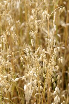 Free Wheat Royalty Free Stock Photography - 808027