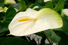 Free White Anthurium Stock Image - 808391