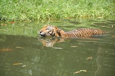 Free Swiming Tiger Royalty Free Stock Photography - 808547