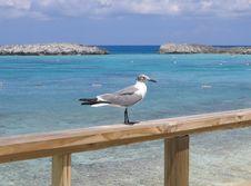 Free Bahamas Sea Gull Royalty Free Stock Images - 808579