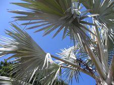 Free Bahamas Palm Tree Leaves Royalty Free Stock Photography - 808597