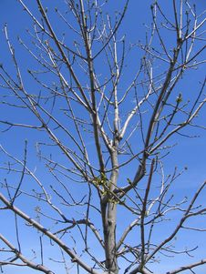 Free Spring Tree Royalty Free Stock Photo - 809185