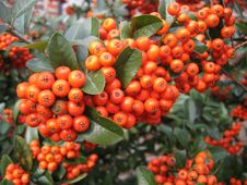 Free Mountain Ash Stock Photography - 809192