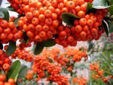 Free Mountain Ash Royalty Free Stock Photography - 809197