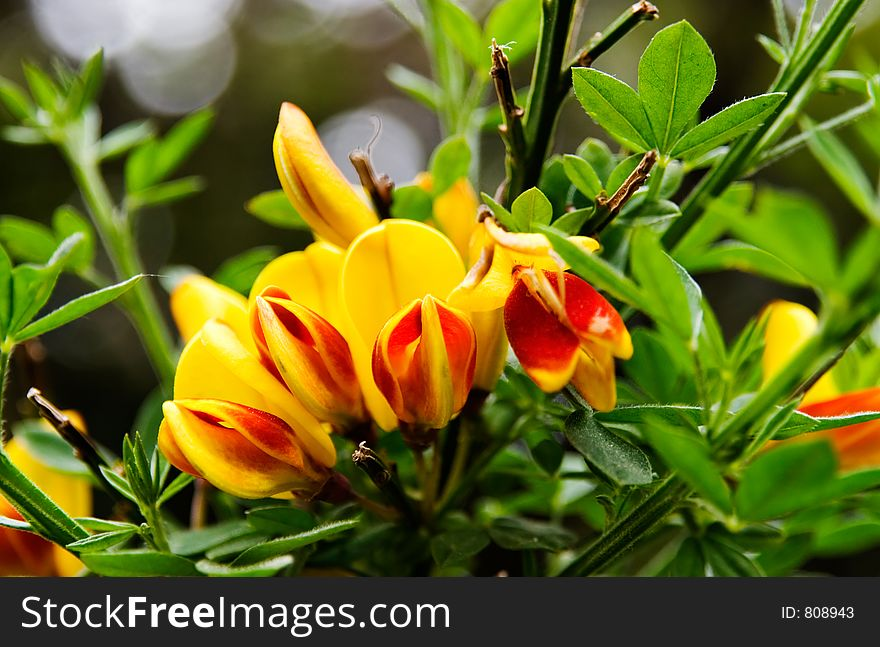 Blooming red and yellow scotch broom flowers free stock images blooming red and yellow scotch broom flowers mightylinksfo