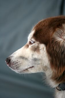 Free Portrait Of The Dog. Royalty Free Stock Photos - 8000088