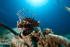 Free Lionfish Stock Photo - 8000260