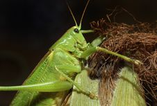 Free Katydid Stock Photos - 8000893